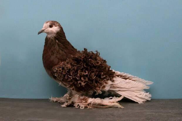 Топ-10 декоративных пород голубей с фотографиями и названиями