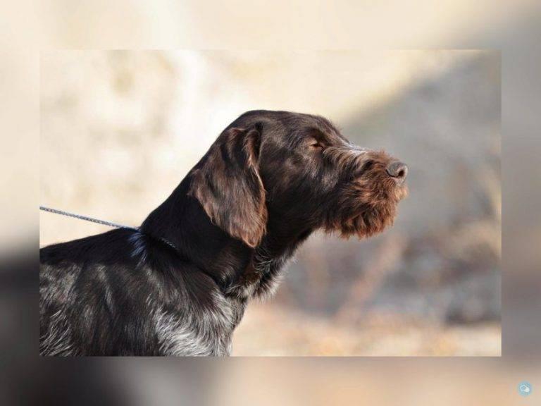 Собака дратхаар — особенности разведения, описание породы