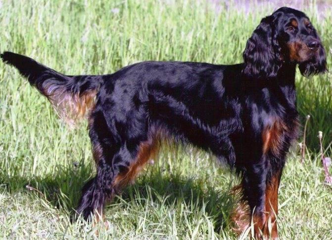 Шотландский сеттер (гордон) в россии - портал о собаках легавых пород и охоте