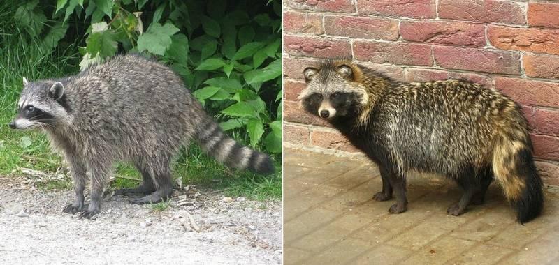 Еноты: описание животного, виды с фото, что ест, враги