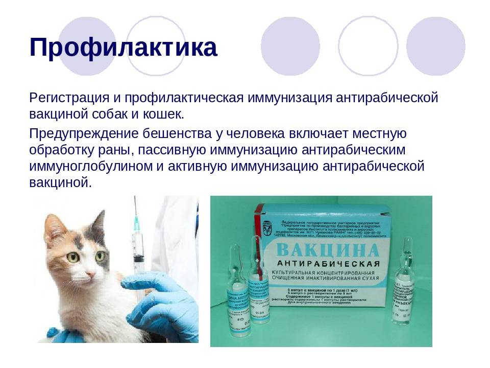 Как часто делают кошкам прививку от бешенства