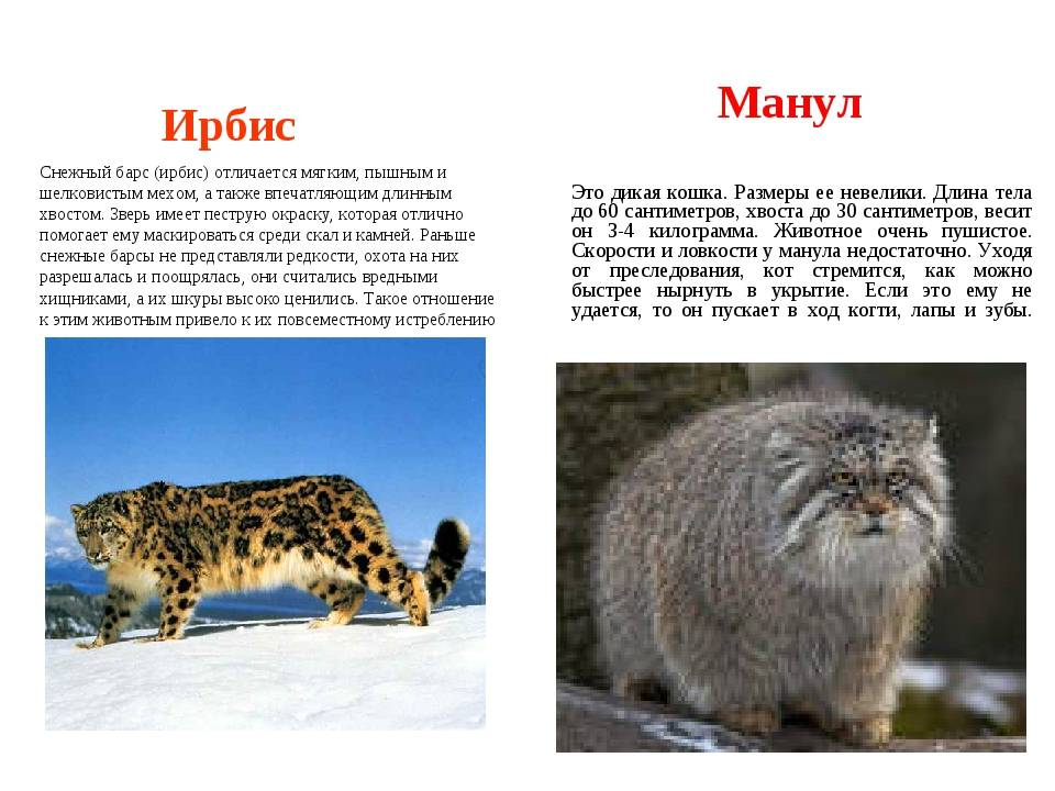 Манул и его особенности   животный мир