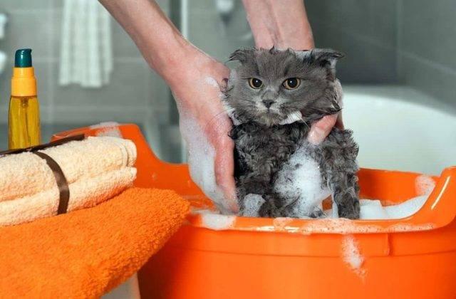 Как часто можно купать кошек и котов | сколько раз мыть