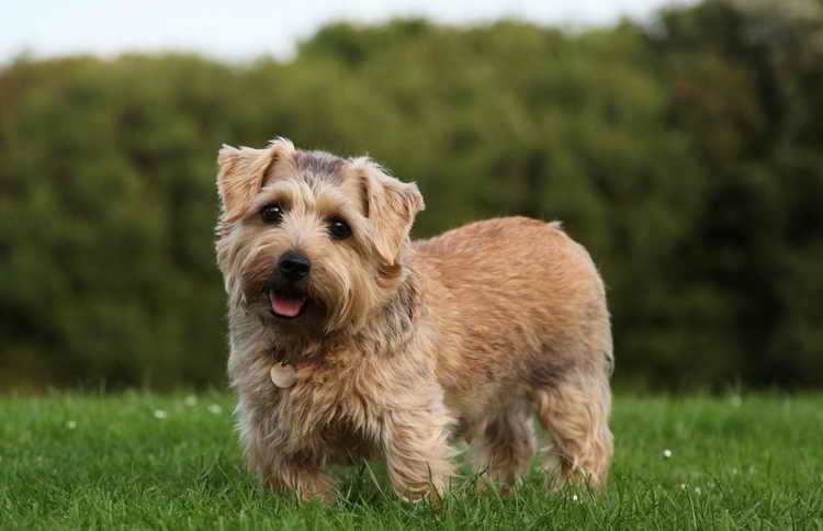 Подробное описание породы собак норвич терьер
