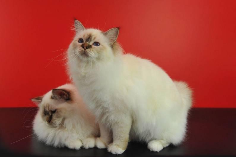 Бирманская кошка: описание и характер породы, особенности ухода