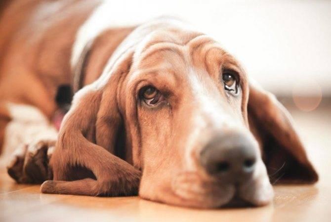Почему собака ничего не ест и не пьёт, постоянно лежит и вялая: холодный нос