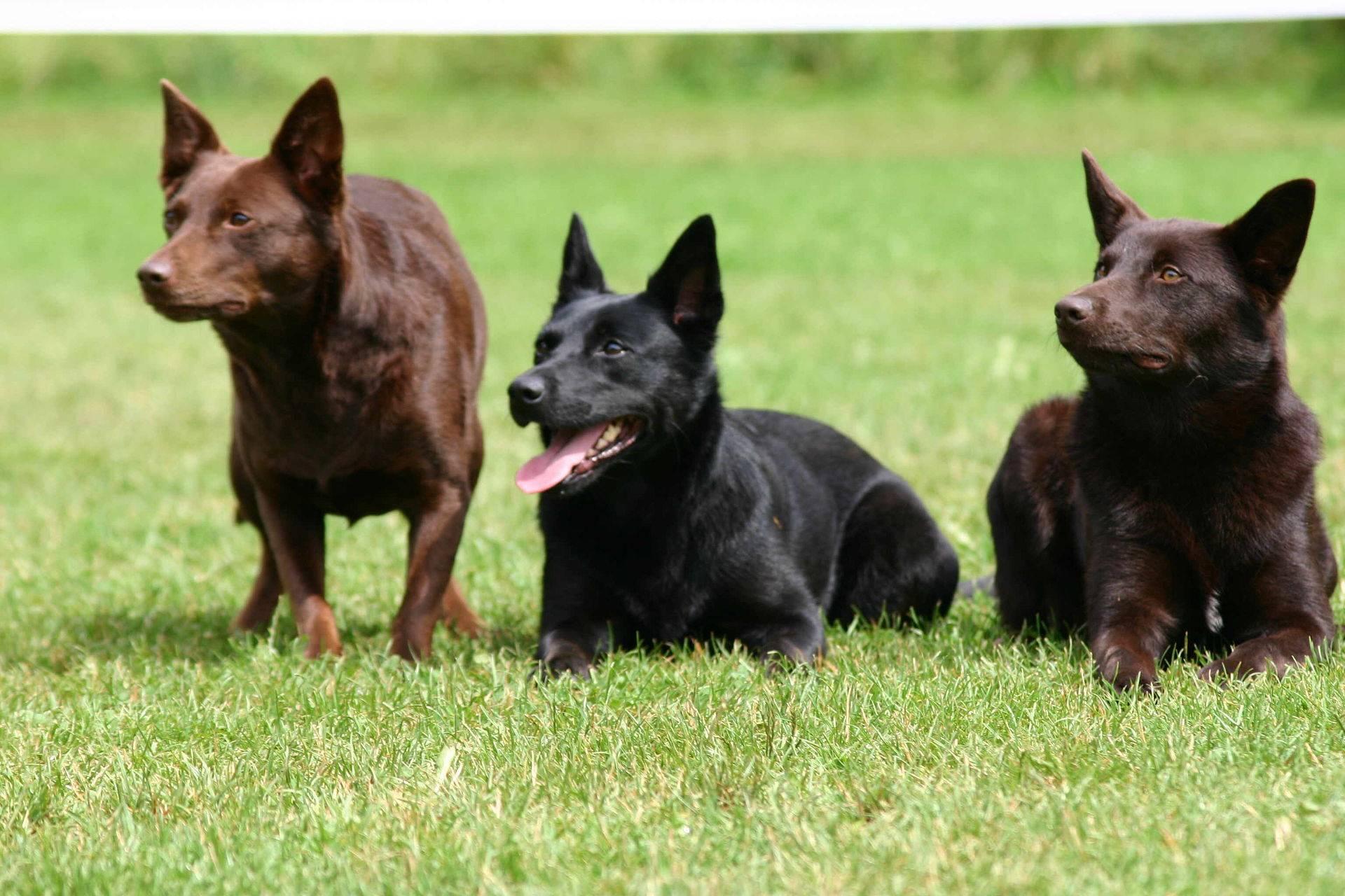 Породы собак с бородой, усами, бровями