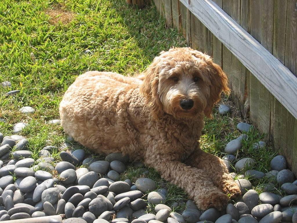 Порода собак лабрадудль (смесь пуделя и лабрадора)
