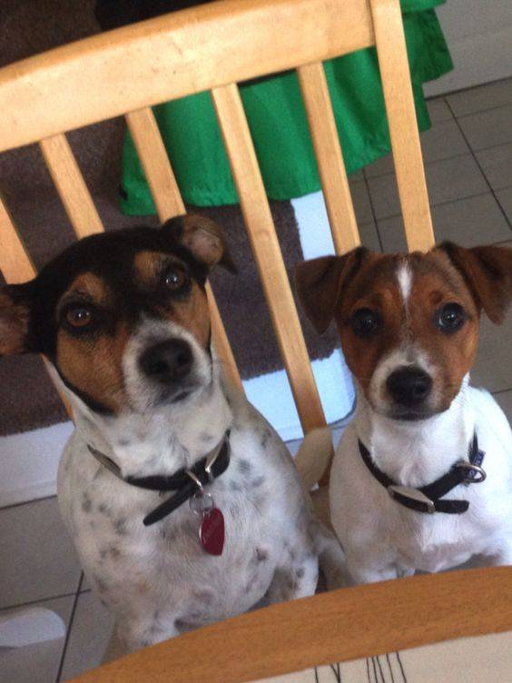 Джек рассел терьер собака. описание, особенности, уход и цена джек рассел терьера | животный мир