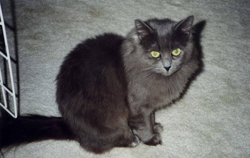 Кошка породы нибелунг: советы по уходу, содержанию, отзывы владельцев   medeponim.ru