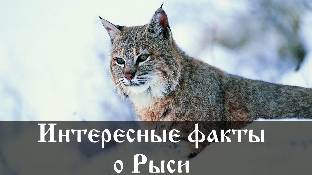 50  интересных фактов о росомахе — общенет