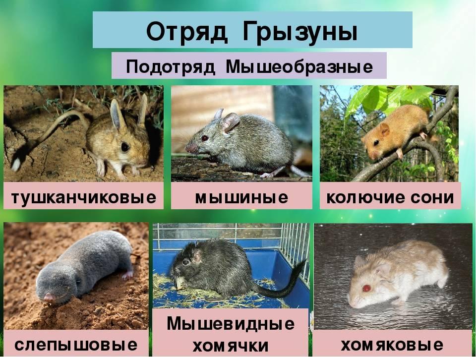 Являются ли кролики гризунами, к какому виду относятся эти животные
