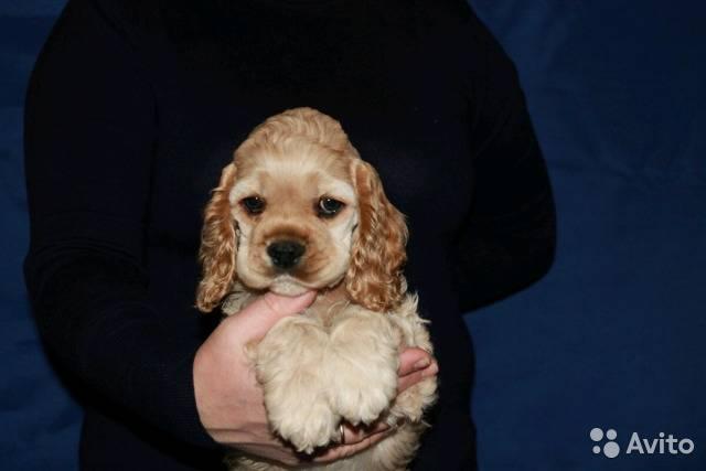 Американский кокер спаниель собака. описание, уход и цена американского кокер спаниеля