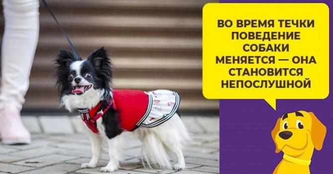 Что нужно знать про течку у чихуахуа: когда начинается, как часто бывает и как ухаживать за собакой в этот период
