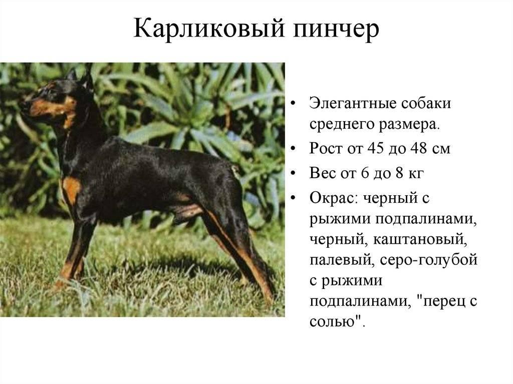Доберман: характеристика породы, все о собаках