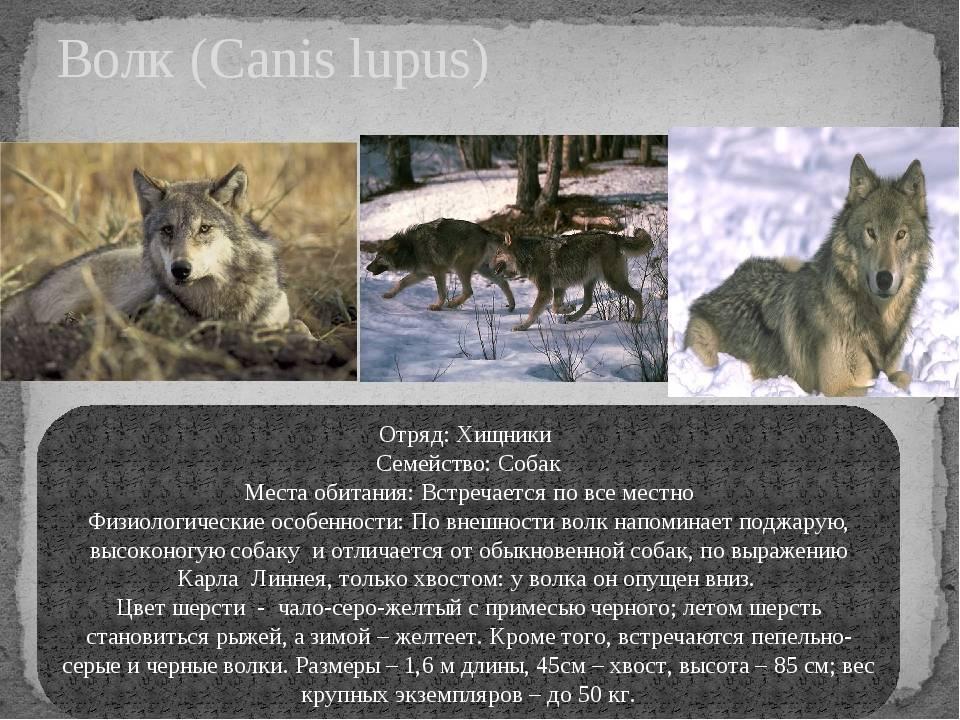 Виды волков. описание, названия и особенности волков | животный мир