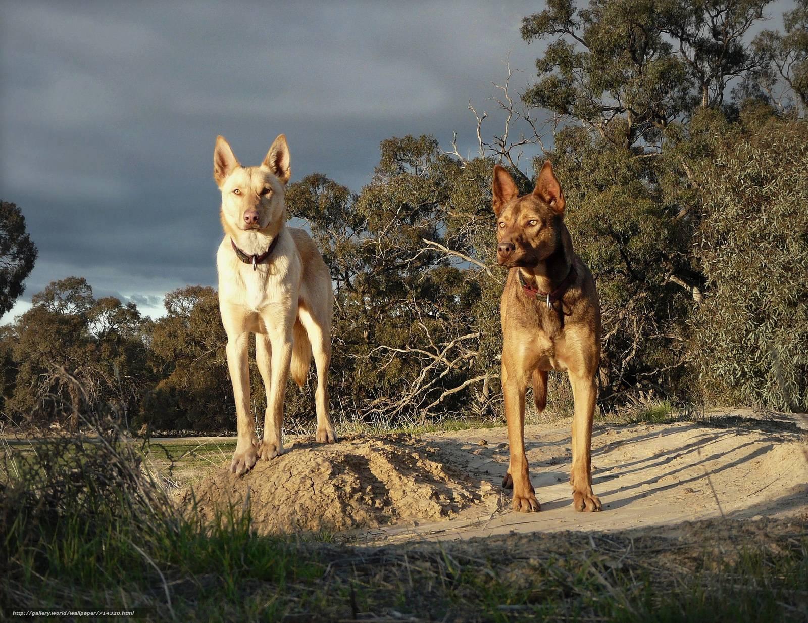 Австралийская овчарка: история, стандарт породы, уход и содержание