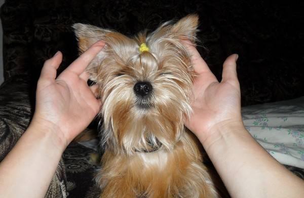 Когда встают уши у йоркширского терьера и что делать, если они не встали ⋆ собакапедия