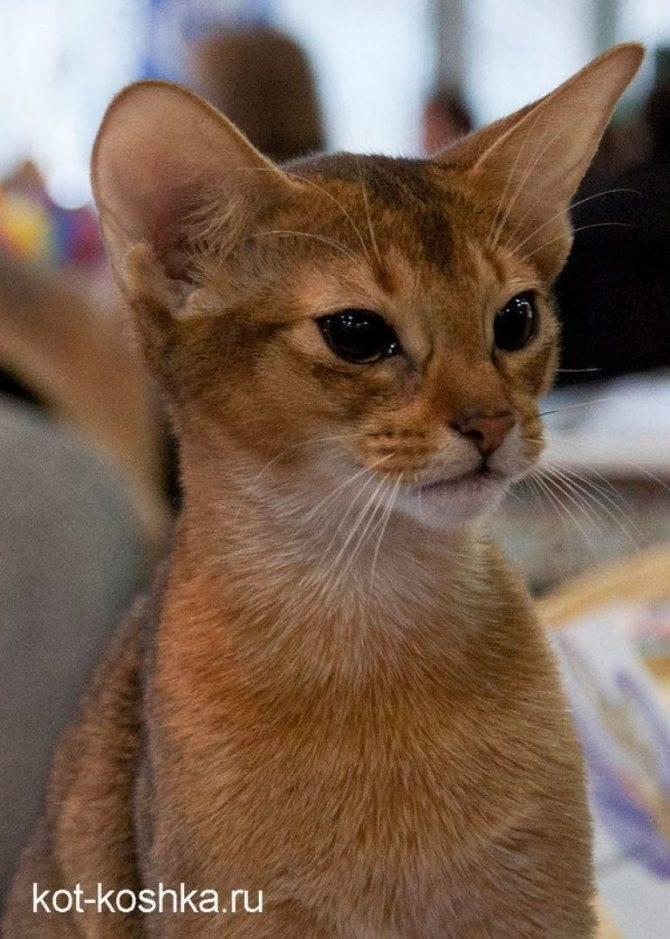 Топ-10 самых умных пород кошек в мире: описание и фото представителей