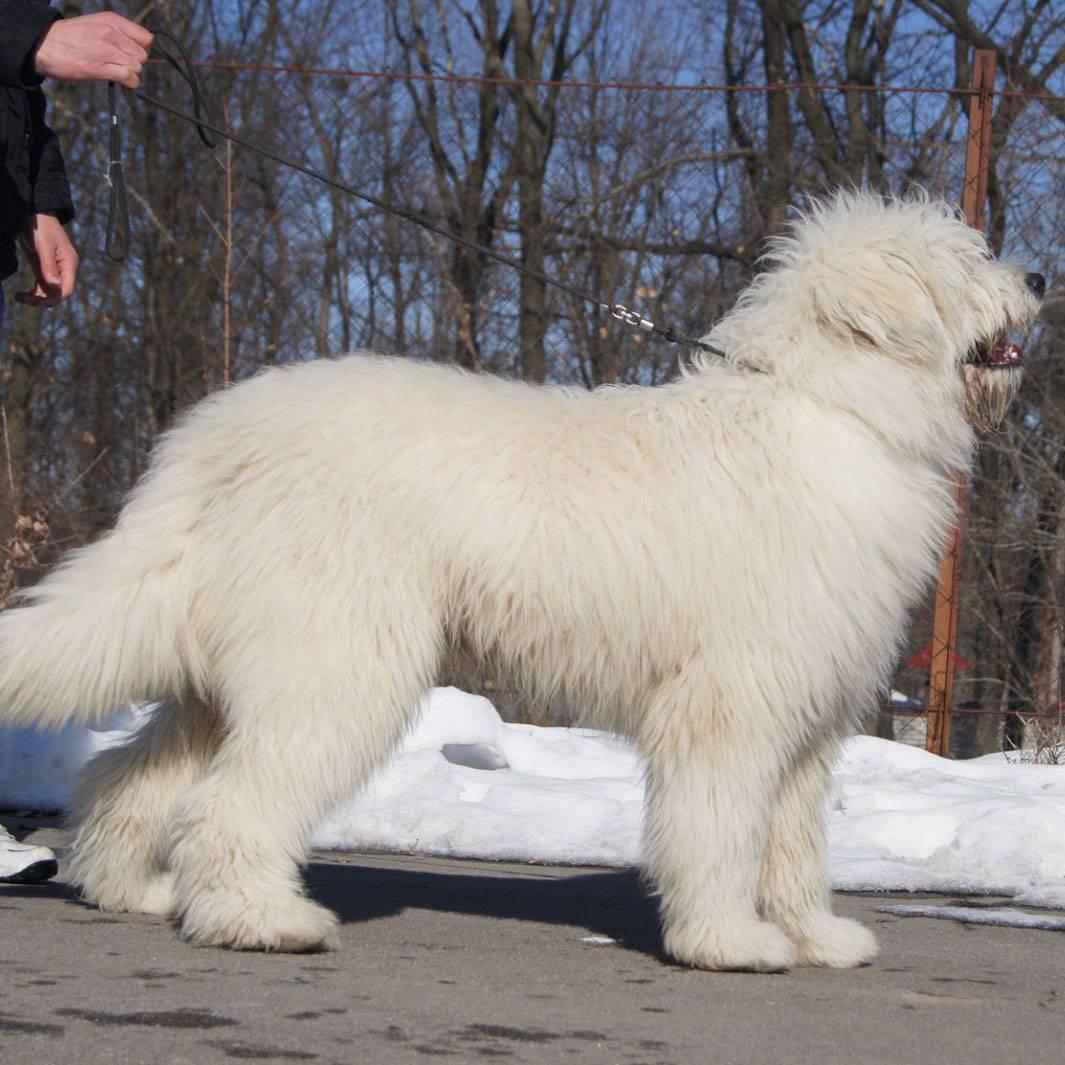 Южнорусская овчарка — описание породы собак
