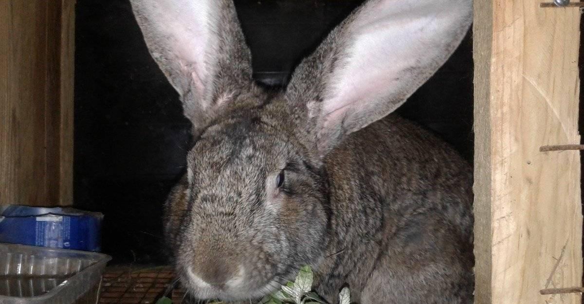 Кролики мясных пород: описание, фото, характеристики
