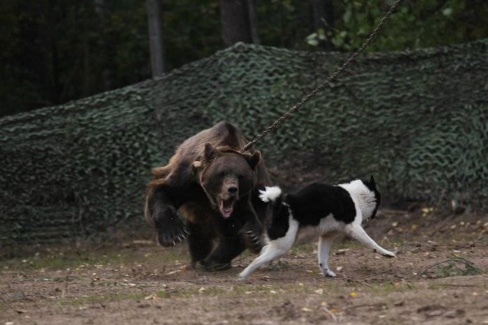 Особенности охоты на зверя с лайками: об активности этой породы собак