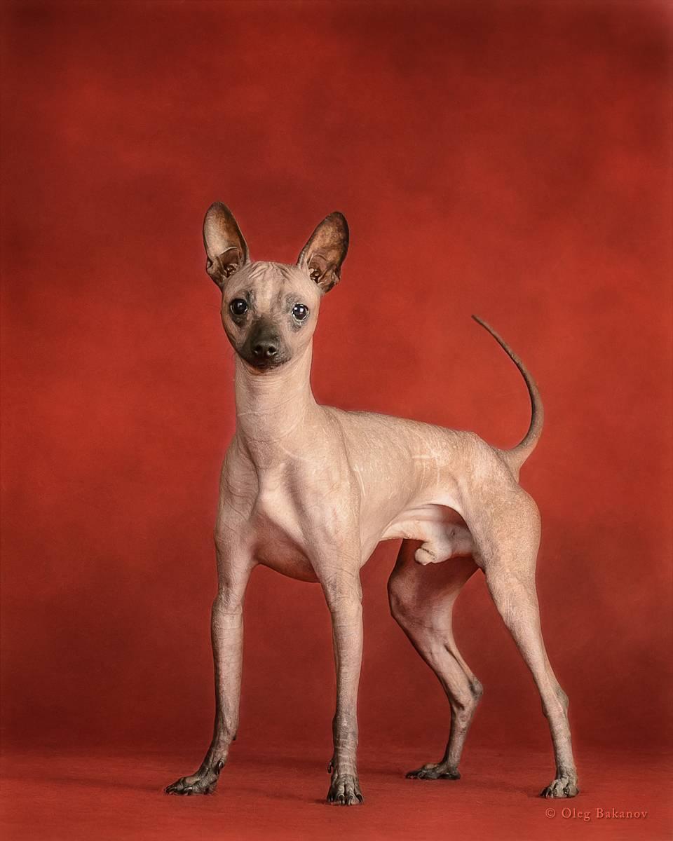 Стандарт мексиканской голой собаки с фото, описание лысой ксоло и в шерсти, характер и особенности ксолоитцкуинтли