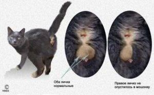 Половое созревание у котов и кошек: в каком возрасте кошка может забеременеть первый раз