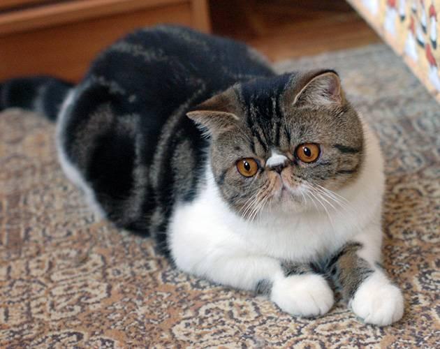 Порода кошек экзот