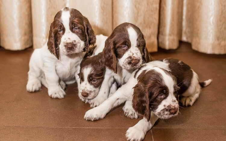 Вельш-спрингер-спаниель: описание породы собак с фото и видео