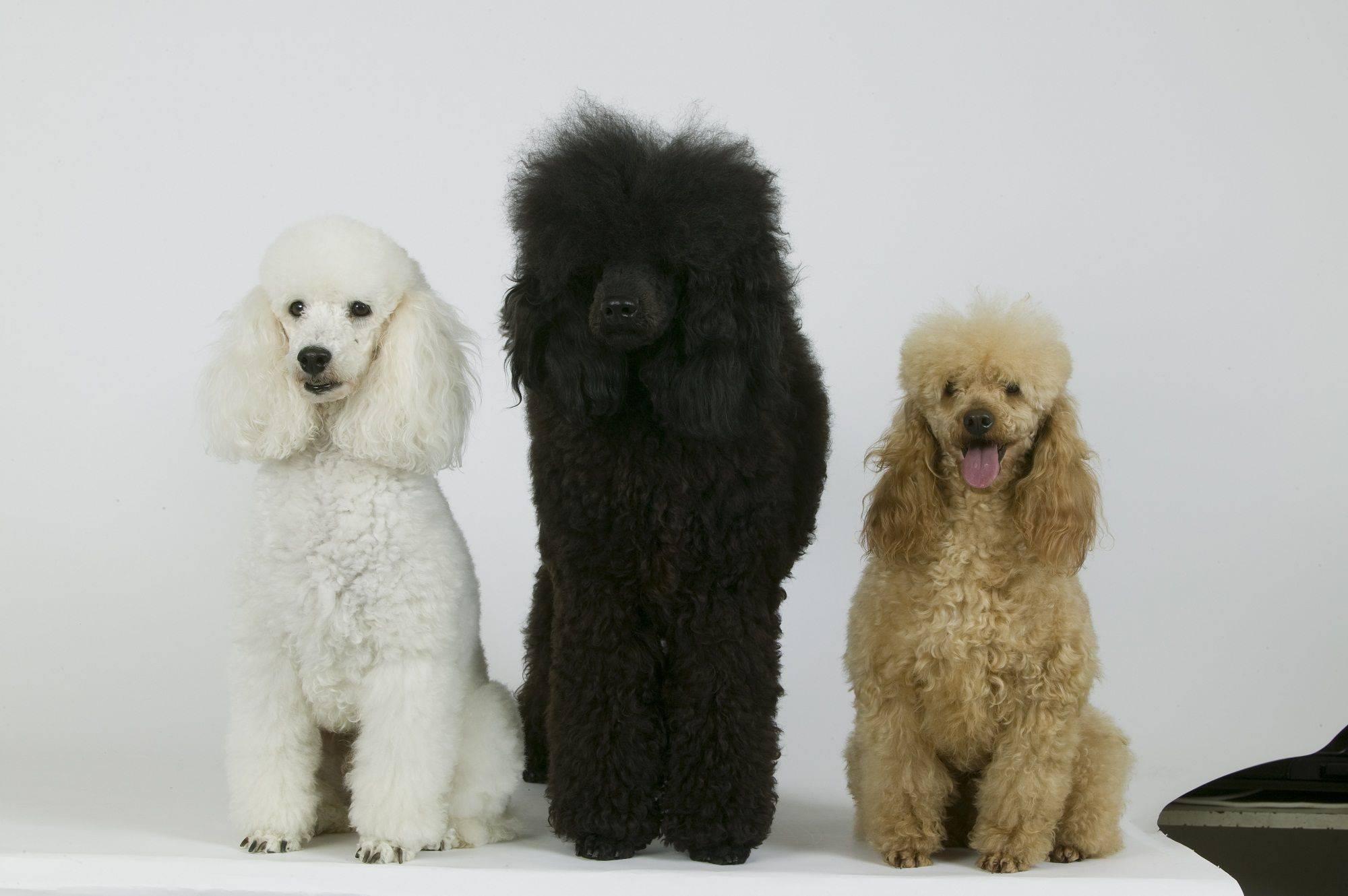 Карликовый пудель – декоративная порода собак: внешний вид, особенности характера, уход и содержание в домашних условиях