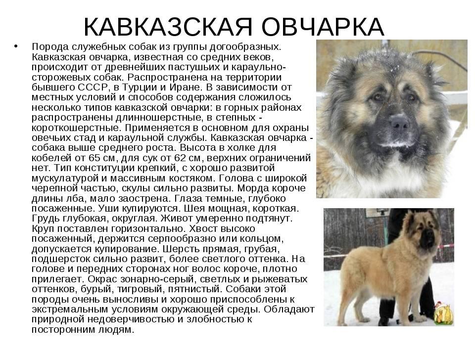 Метис кавказской овчарки и дворняги фото