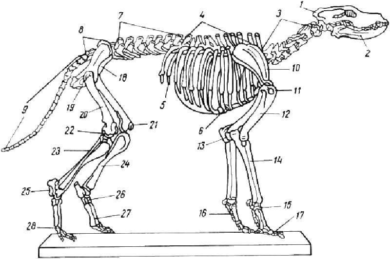 Анатомия собаки: строение скелета и внутренних органов, фото с описанием костей