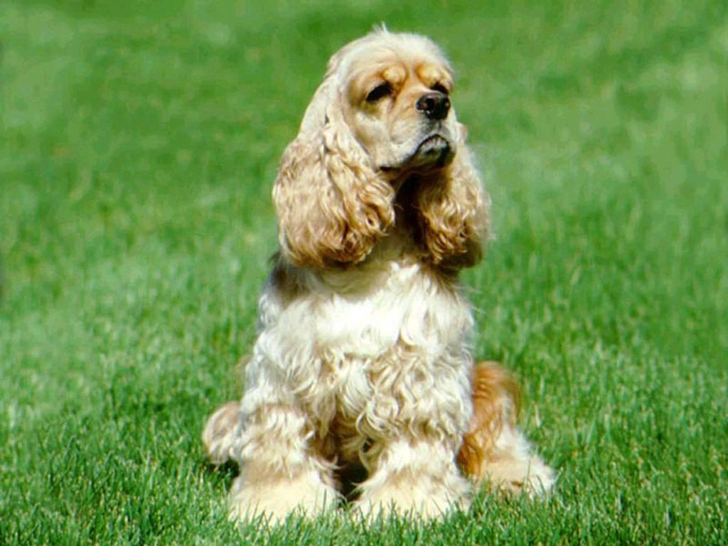 Английский кокер-спаниель: все о собаке, фото, описание породы, характер, цена