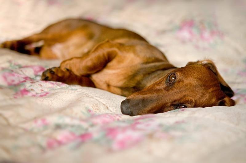 Ложная беременность у собак: симптомы и признаки, как определить и распознать по поведению. в чем выражается отличие от настоящей, как проявляется у мелких пород
