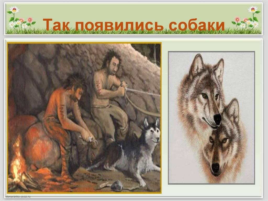 Происхождение собаки | питомник с горы мезмай