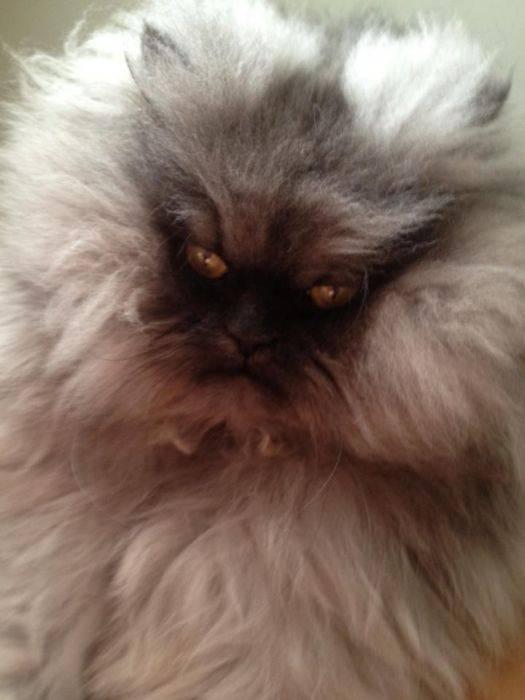 Кошки-злюки, или у каких пушистых питомцев самый скверный характер