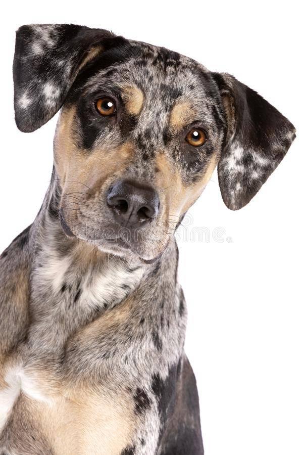 Леопардовая собака катахулы — википедия. что такое леопардовая собака катахулы