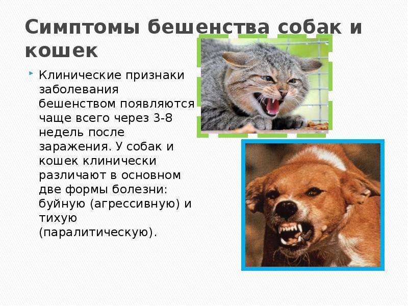 Бешенство у кошек: признаки, инкубационный период и профилактика