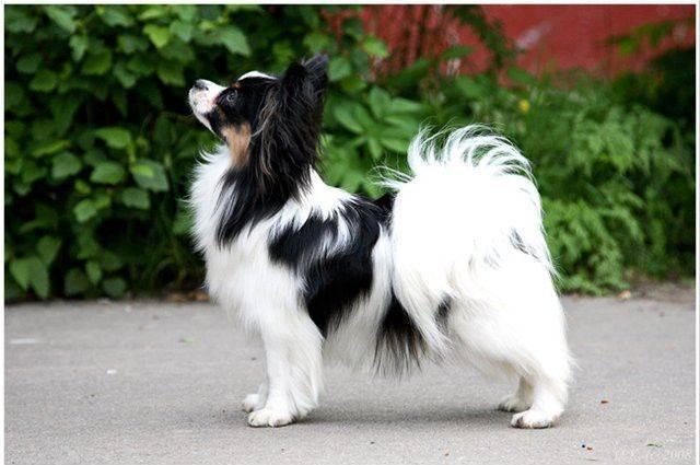 Описание и характер породы собак папийон