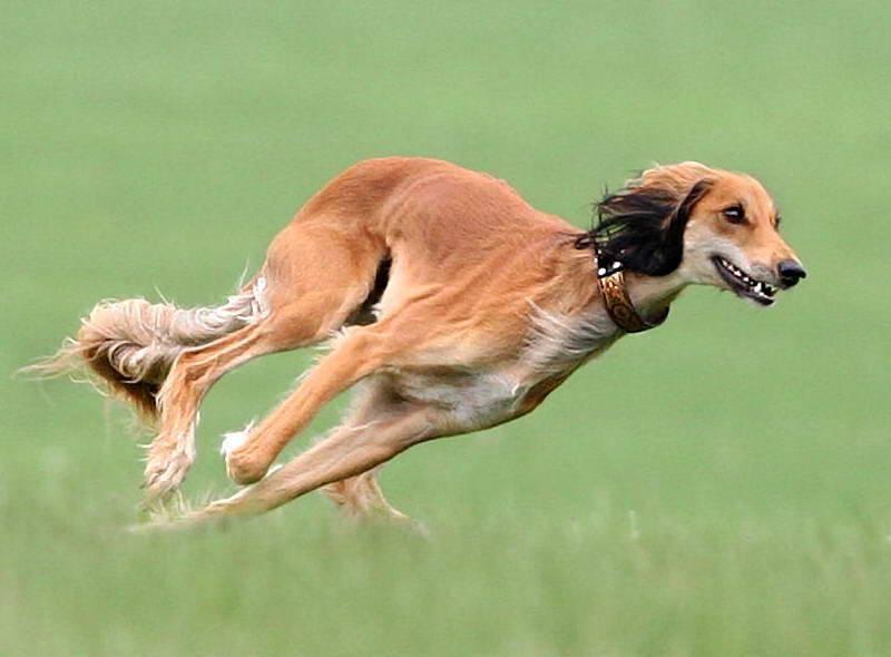 Самые быстрые породы собак в мире. топ-10