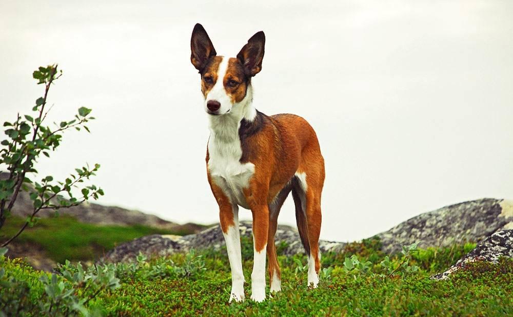 Борзые собаки: топ – 20 пород с фото, названиями, описанием