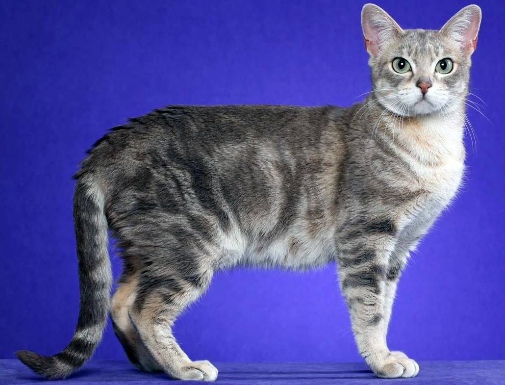 Австралийская дымчатая кошка (австралийская мист) — описание породы, уход и содержание