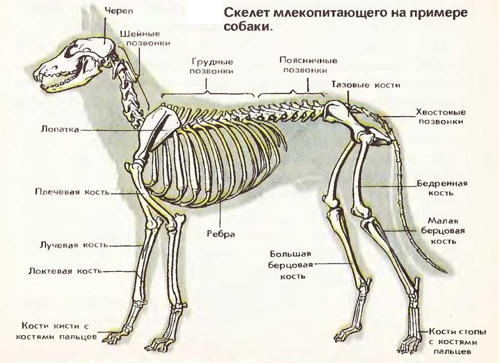 Костное строение собаки для ветеринарной информации | аквариумные рыбки