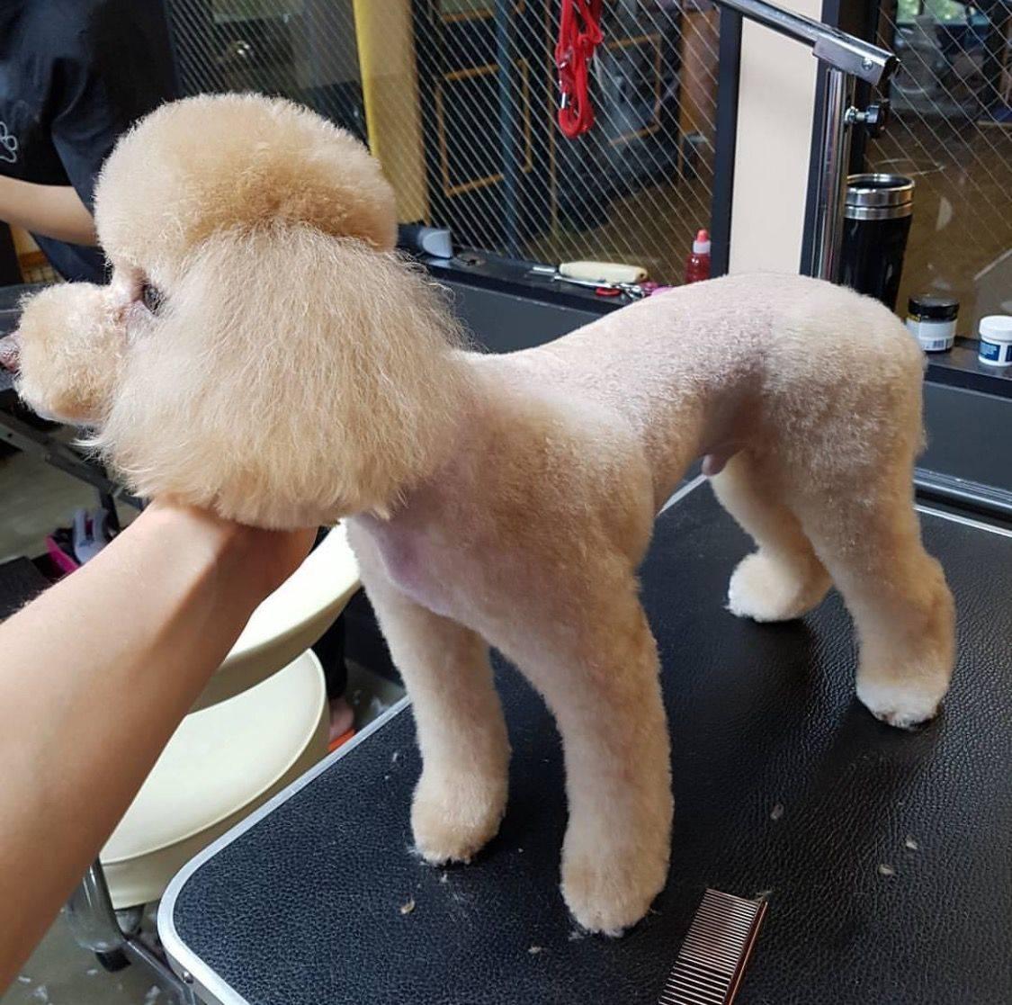 Модели стрижек собак породы мальтезе: как подстричь мальтийскую болонку самому