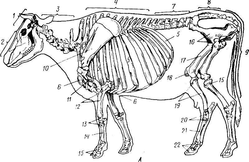 Подробное писание строения черепа коровы: зубы, глаза, скелет
