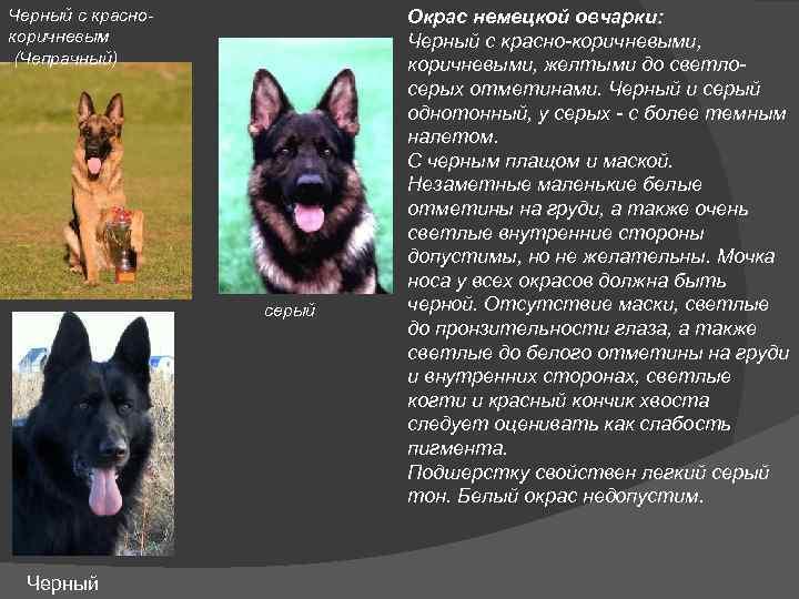 Зонарная немецкая овчарка: фото, рыжий и серый окрас, щенки
