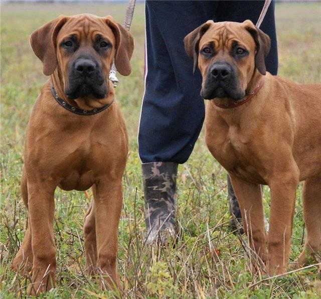 Бурбуль порода собаки. описание, особенности, уход и цена бурбуля
