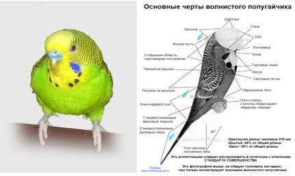 Как научить волнистого попугая говорить и что влияет на обучение?