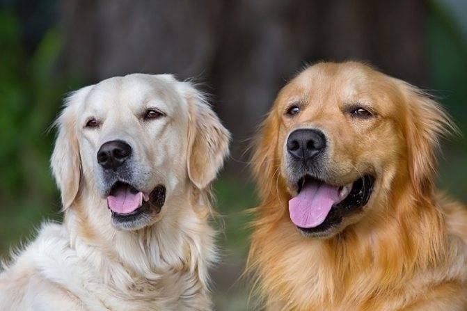Особенности содержания золотого ретривера: описание породы и правила ухода за собаками   собаки мира